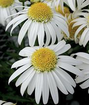 100 Shasta Daisy - Alaska - Non GMO Flower Seeds - $7.99