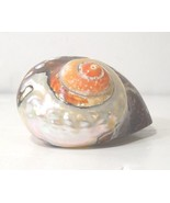"""POLISHED SEMANTICUS TURBO SEA SHELL 3"""" x 2.72"""" Hermit Crab or Collection... - $15.40"""