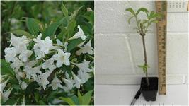 "WHITE WEIGELA 4"" pot (Weigela florida white) - Outdoor Living - $35.99"