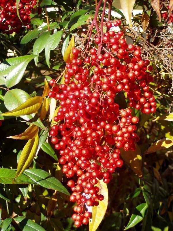 Domestic Nandina ( Heavenly Bamboo)