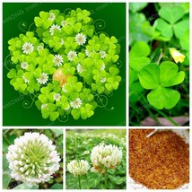 White Dutch Clover Seeds Beautiful Lucky Trifolium Repens 100% True Seed - $4.85+