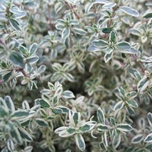 THYME SILVER Live Plants Groundcover Plant - 12 Live Plants - $18.80