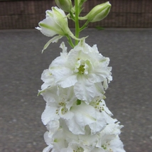 30 White Delphinium Seed Rocket Consolida Beautiful Flower Seeds Home and Garden - $13.58