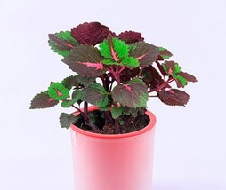 BEST PRICE 300 Seeds Rare Coleus Blumei Rainbow,DIY Plant Seeds NF197 DG - $28.00