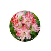 HAPPY FLOWER 2 Bulbs MADYOPURO True Hippeastrum Rutilum Bulbs Amaryllis  - $1.79