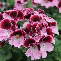 10 Bi Color Pink Geranium Seeds Perennial Flowers Seed Flower 988 - $7.68