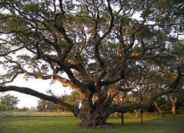 Quercus virginiana Live oak florida native tree roble pre bonsai seed 20 seeds - $32.00