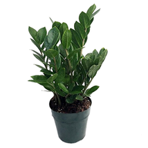 """Rare ZZ indoor Plant - Easy to Grow Live Houseplant growing in a 4"""" pot - $14.77"""