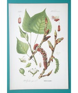 LOMBARDY POPLAR Populus Nigra - Botanical COLOR Litho Print - $9.00