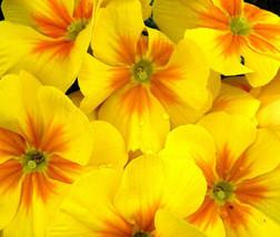 50 Bulk Seeds Primrose English Accord Yellow Primula, DIY Decorative Plant ov04 - $36.70