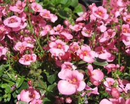 BEST PRICE 200 Seeds Diascia Barberae Apricot Queen, FS DIY Flower Seeds - $6.43