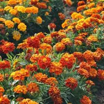 SHIP FROM US 25 Seeds Mixed Marigold Flower,DIY Decorative Garden Plant AM - $23.99