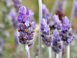 400mg Organic English Lavender Vera Seeds 200ct ~Herbal Remedy ~Antisept... - $16.99