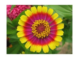 Circus Act Zinnia Flower Seed Pack - NEW FREE SHIPPING - $7.56