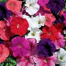 75 pcs Petunia Seeds, Farm Mix, Mixed Petunia Seeds, For Hanging Baskets... - $13.99
