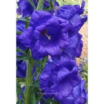 50 Campanula Blue Double Canterbury Bells Perennial Flower Seeds #ALP04 - $16.17