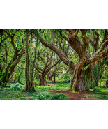 Rainforest Trees, Maui, Hawaii, Fine Art Photos, Paper, Metal, Canvas Print - $40.00