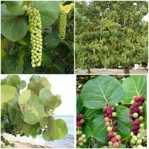 "Coccoloba uvifera Live Plant~SeaGrape~UVA CALETA~UVA DE PLAYA 5-7"" TALL - $21.00"