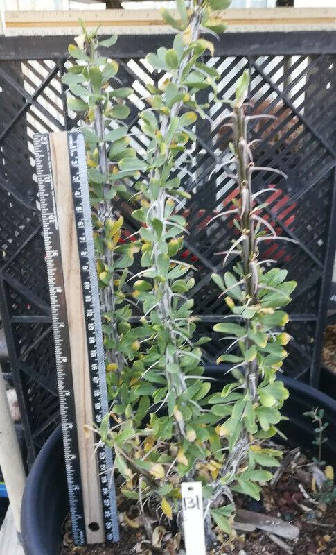 Fouquieria splendens Ocotillo Tall Canes Red Tube Flower Green After Rain 131