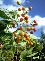 Bourreria ovata Bahama Strongbark Florida native tree bee bonsai seed 50 seeds - $26.00