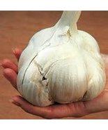 Organically Grown Elephant Garlic (1 Lb) - $23.76