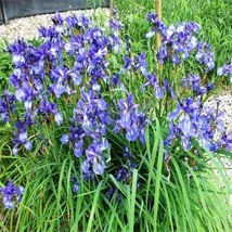 Wild blue iris flower seeds 25 fresh seeds - $3.75