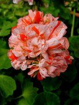 10 Orange White Geranium Seeds Perennial Flower Seed Flowers Bloom - $7.68