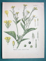INDIAN MUSTARD Medicinal Plant Brassica Juncea - Beautiful COLOR Botanic... - $16.83