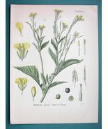 INDIAN MUSTARD Medicinal Plant Brassica Juncea - Beautiful COLOR Botanic... - $16.83