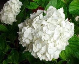 Starter Plant - Hydrangea Macrophylla Regula - $22.88