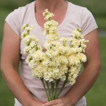 Iron Yellow Stock Seeds Edible Flower Seeds - $8.99