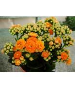 "Kalanchoe Orange Aka Kalanchoe Blossfeldiana Live Plant Fit 4"" Pot - $5.93"