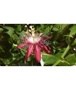 100 Seeds Gallon Red Passion flower Vines Passiflora Lady Margaret - ₹271.71 INR