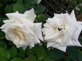 Pascali Creamy White Hybrid Tea Rose 2 Gal. Shrub Plants Shrubs Plant Ro... - $34.95