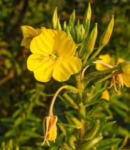 50 Seeds of  MISSOURI EVENING PRIMROSE - Oenothera Macrocarpa - $19.00