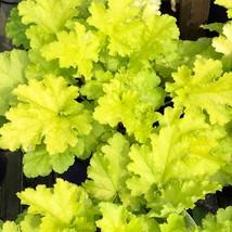 "2.5"" pot heuchera CITRONELLE yellow bright coral bells - 1 Live Potted P... - $48.99"