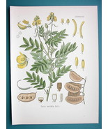 LOCUST PLANT Medicinal Cassia Acutifolia - Beautiful COLOR Botanical Print - $14.53