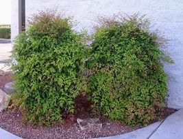 Domestic Nandina ( Heavenly Bamboo) image 4