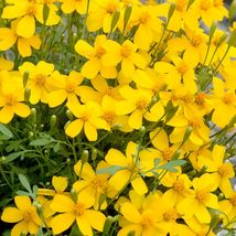 75 MEXICAN MINT SEEDS MOSQUITO REPELLENT MARIGOLD HERB MEDICINAL Tagetes... - $4.98