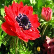 Anemone Red Flower Seeds (Anemone Pulsatilla Vulgaris) 50+Seeds - $4.99+