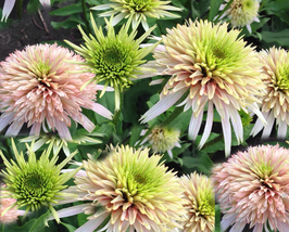 200 pcs Very Enchant Echinacea Cherry Fluff Perennial Coneflower Seeds - $16.89