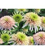 200 pcs Very Enchant Echinacea Cherry Fluff Perennial Coneflower Seeds - $16.89