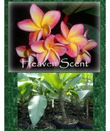 Rare fragrant Exotic ROOTED plant *Heaven Scent* Plumeria Seedling Perfe... - $12.95