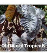 LIVE Elephant Ear 'Black coral' Tropical Exotic Ornamental - $15.79