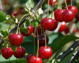 Heirloom 25 seeds cherry tree shrub seeds cherry tree edible fruit seeds 01 thumb155 crop