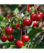 Heirloom 25 Seeds Cherry Tree Shrub Seeds cherry-tree Edible Fruit Seeds - $8.55
