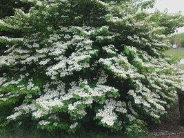 Japanese Snowball Viburnum Bush image 2