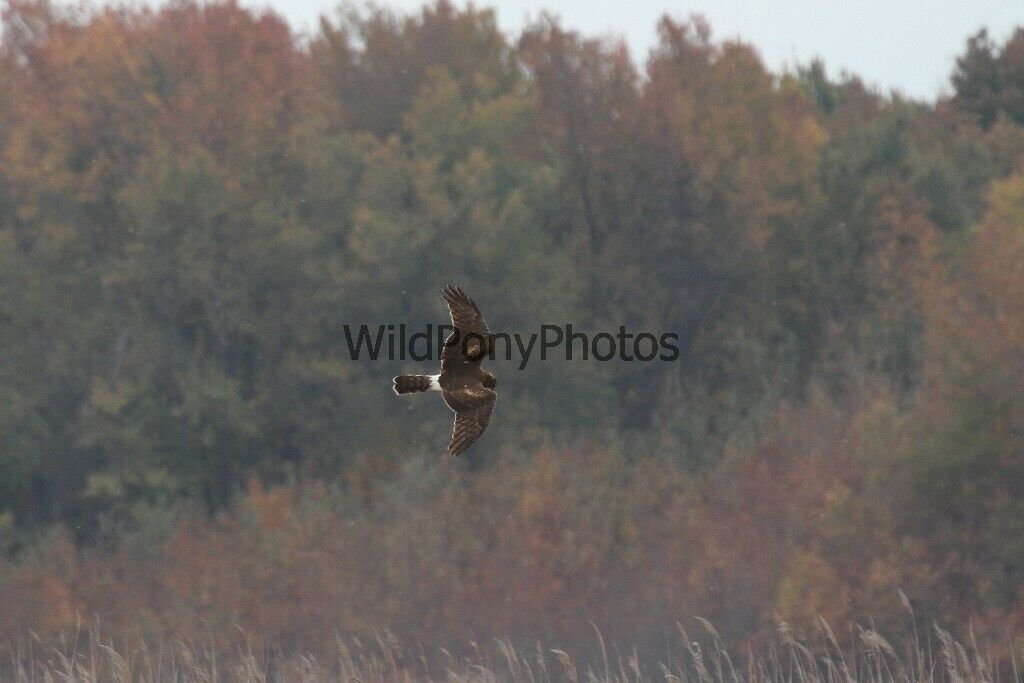 Primary image for Northern Harrier Hunting in the Fall Photo - Various Sizes