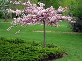 15 Princess Tree Seeds-1068 - $2.98
