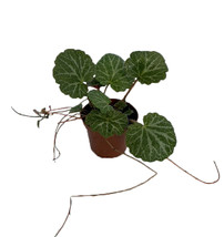 "House Plant Strawberry Begonia Plant - 2.5"" Pot - Saxifraga Stolonifera ... - $49.00"